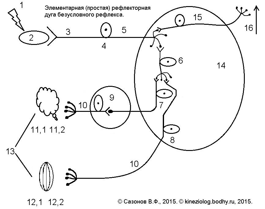 Рефлекторная дуга безусловного рефлекса схема 946