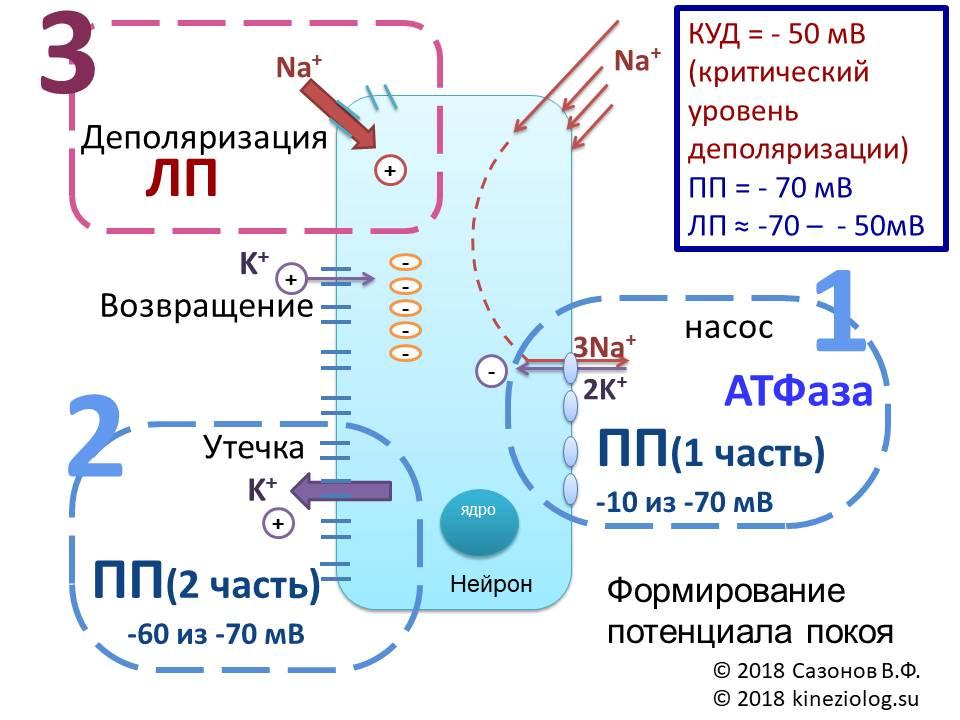 Цикл натрий- калиевого насоса, студопедия