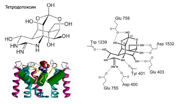 Тетродотоксин блокирует натриевый канал
