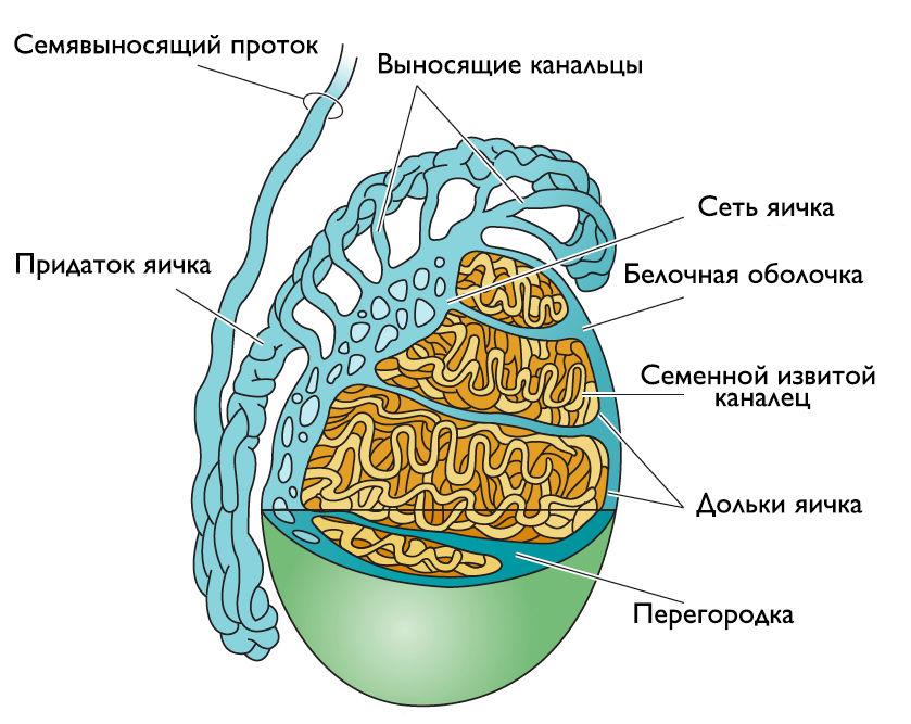 Семенник (яичко)